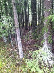 Skogen i Älvdalen